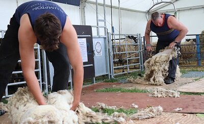 Sheep Shearing Success!