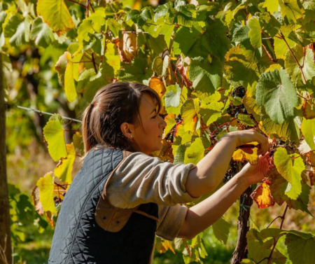Women cutting vines. vineyard. wine.