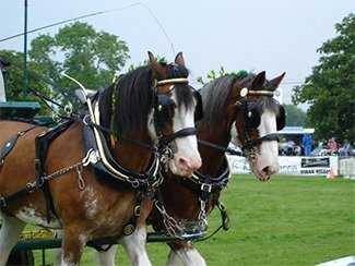 Plumpton Shire Horses at South of England Show