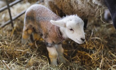 Lambing season has arrived!